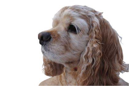 耳が大きな犬用特注ドッグバンパー・イージー!
