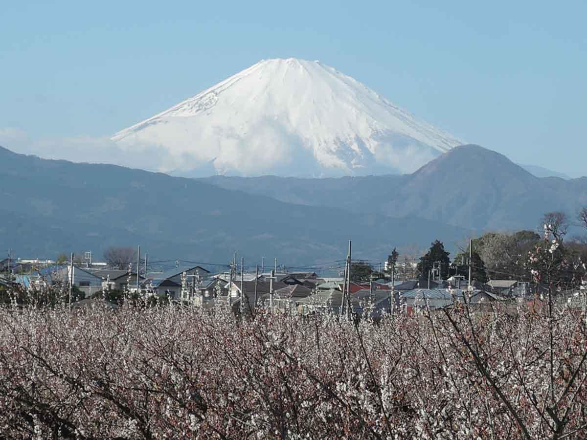 曽我梅林から見た富士山