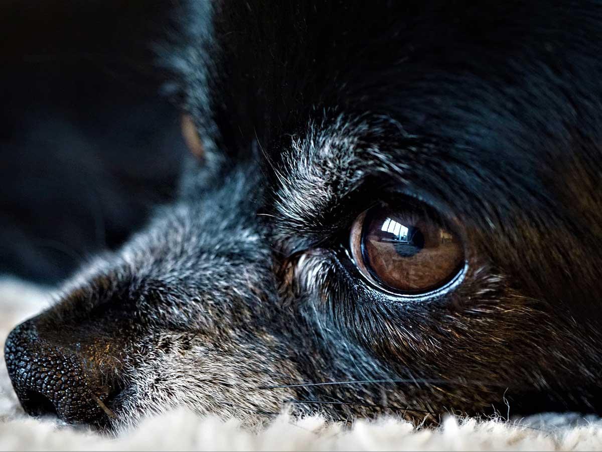 犬の目が見えなくなった時イメージ画像