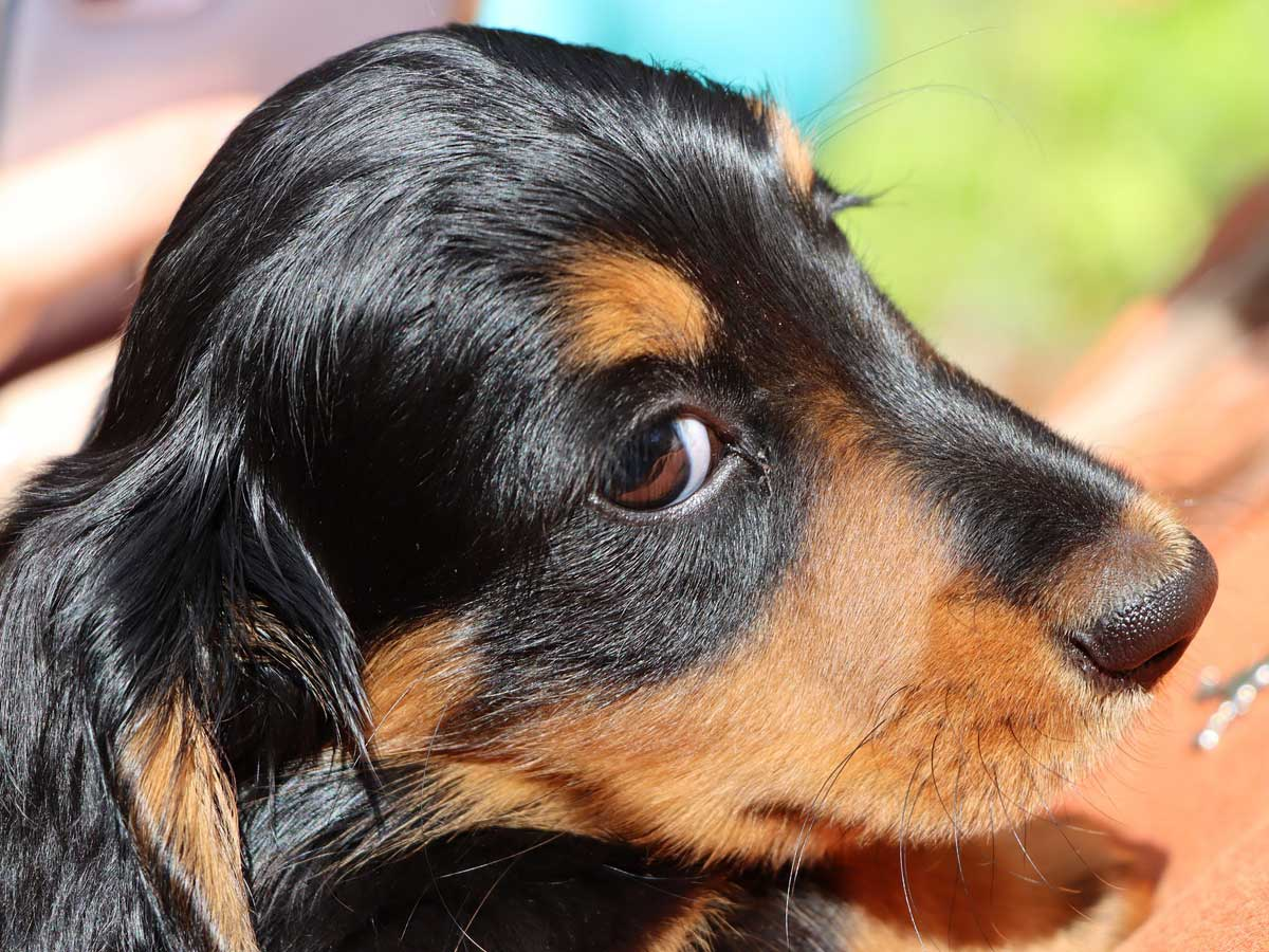 犬が視力を失うと言うこと(困ること)イメージ画像