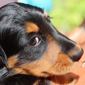 犬が視力を失うということ(生活で困ること)