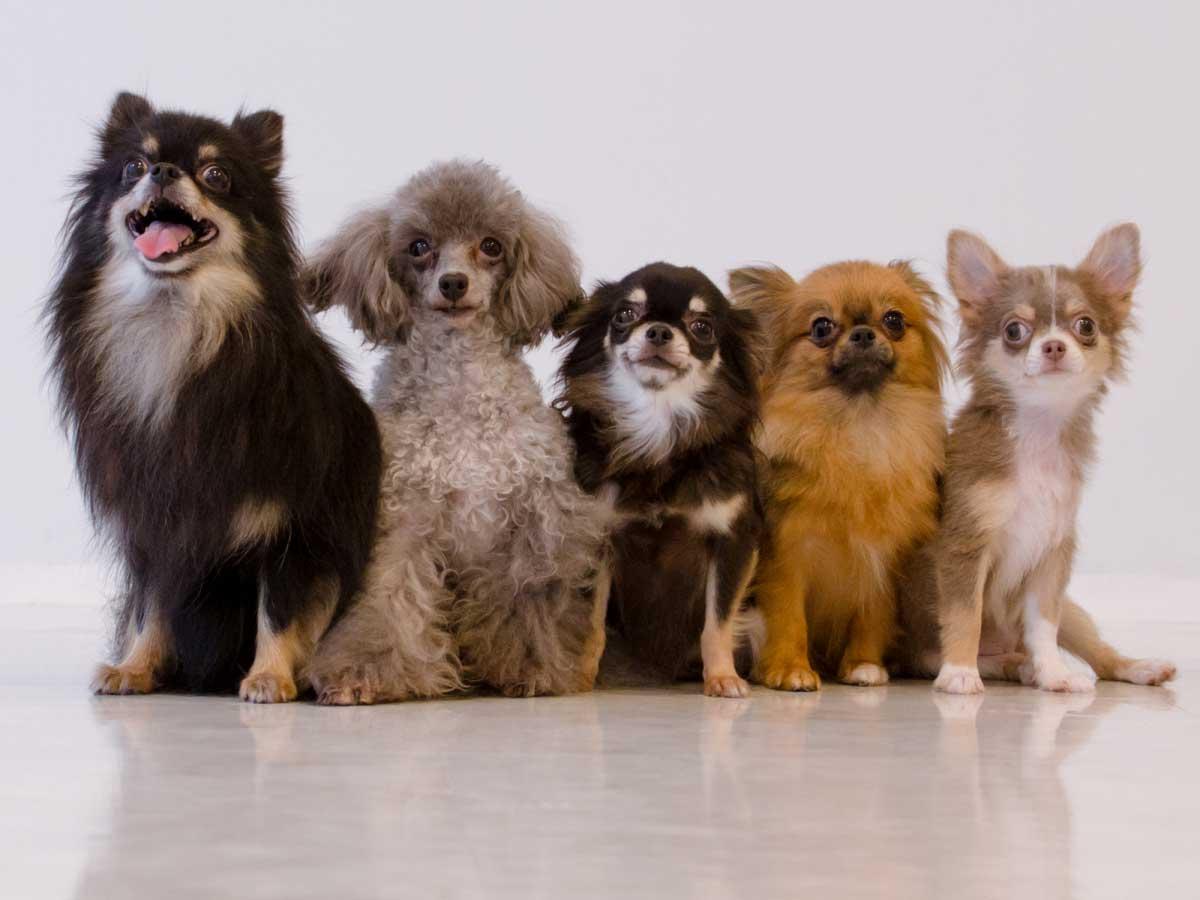 なりやすい犬種別、目が見えなくなる病気についてイメージ画像