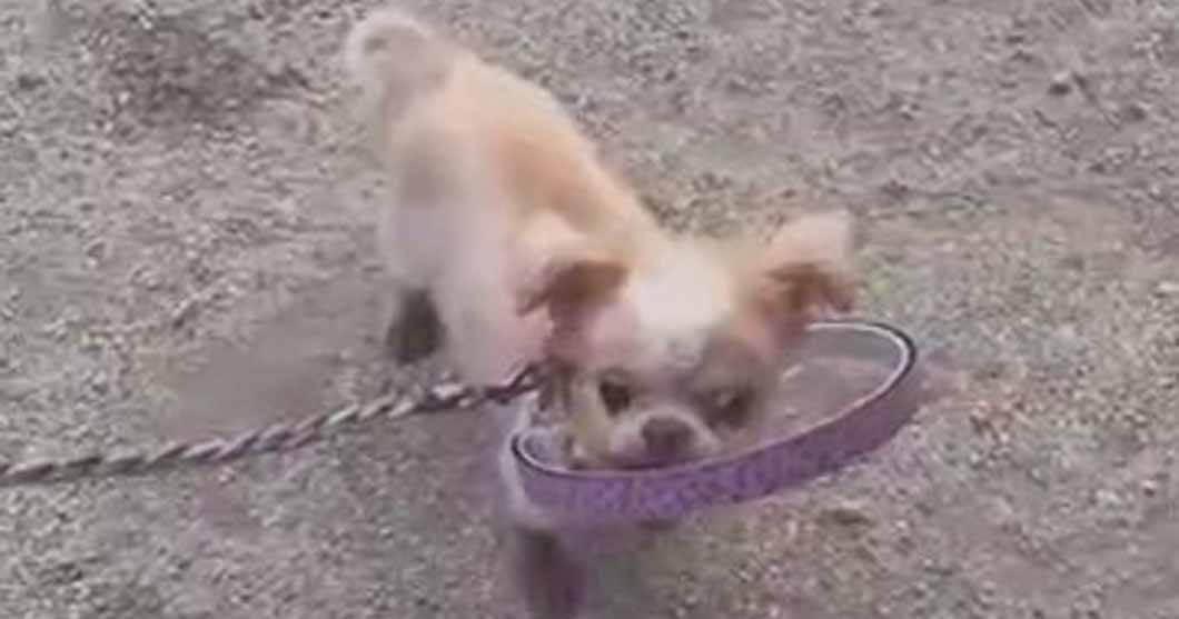盲目犬の補助具ドッグバンパーレビュー:着けて再び歩ける様になりましたイメージ画像