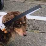 盲目犬の補助具ドッグバンパー採寸具を乗せた状態の画像についてアイキャッチ画像