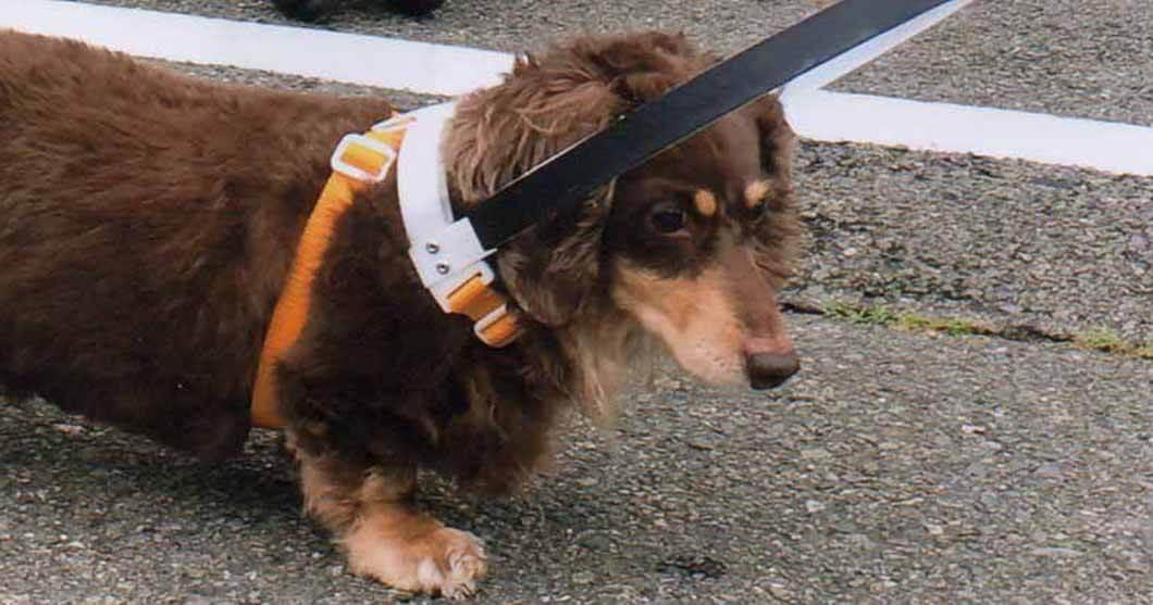 盲目犬の補助具ドッグバンパー採寸具を乗せた状態の画像についてイメージ画像